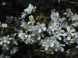 http://www.photosdailleurs.fr/voeux/voeux/fleurs/Imagettes/cerisier.jpg
